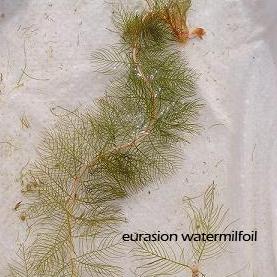 euarasion milfoil