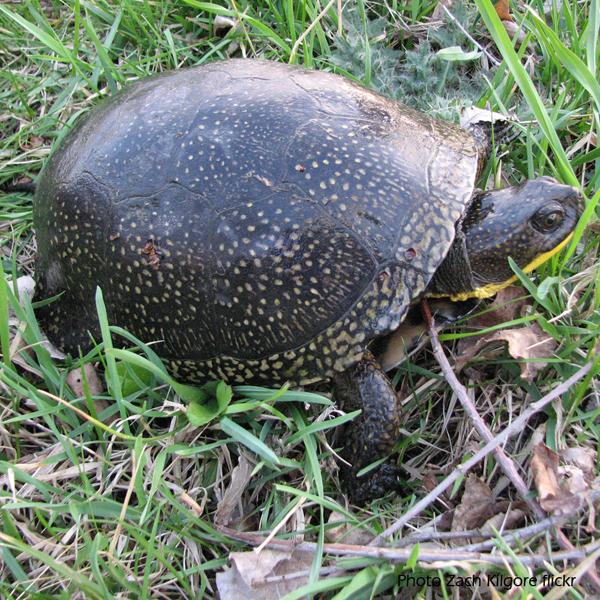 Blanding's turtle