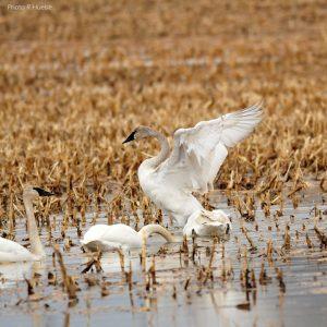 swans in flooded field